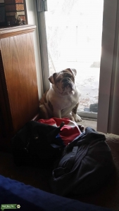 English bulldog stud Listing Image