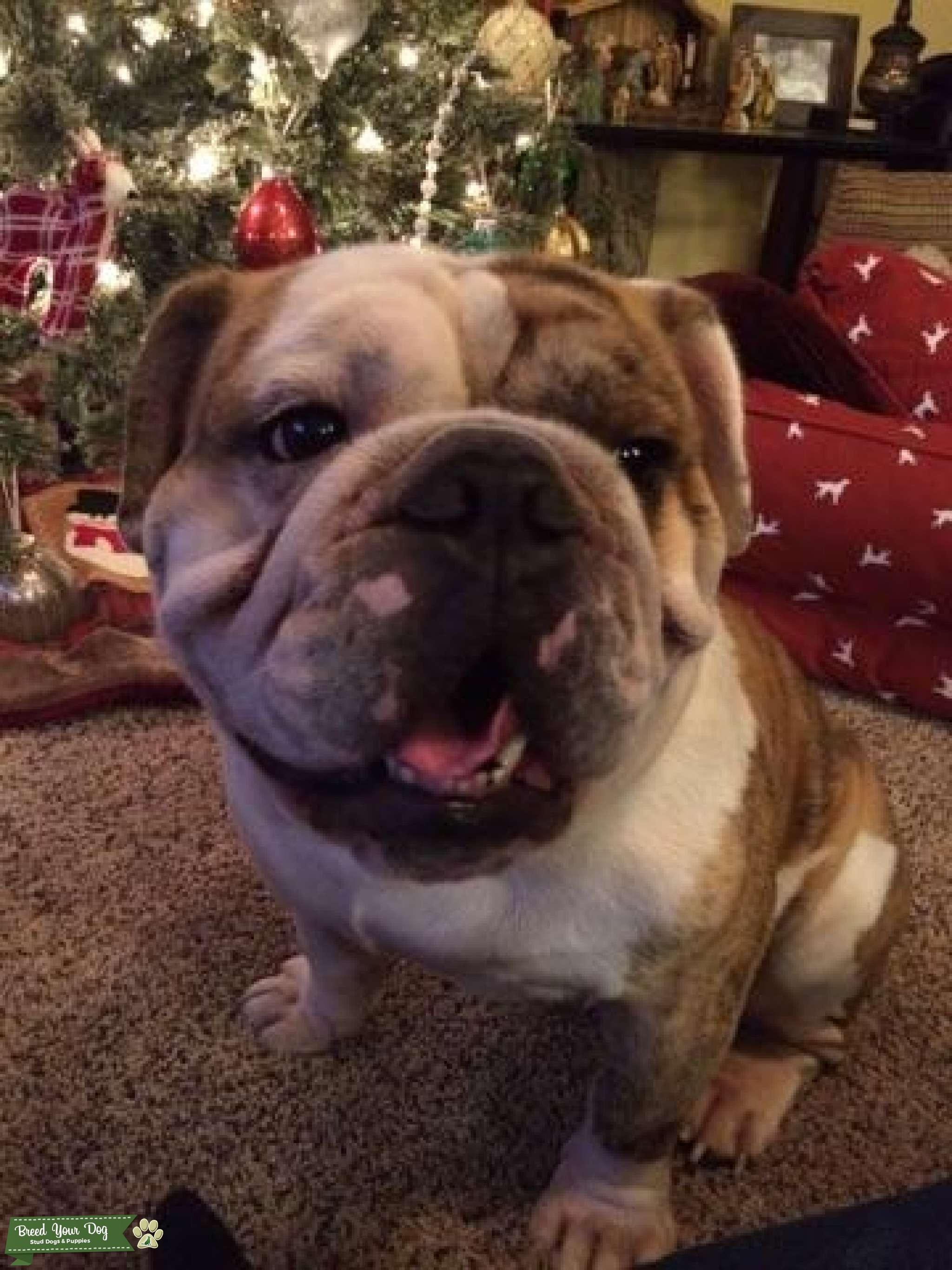 English bulldog stud Listing Image Big