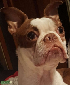 Red and White Boston Terrier stud service Listing Image