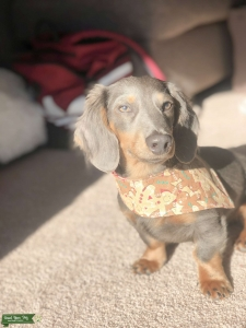 Blue Long Hair Dachshund Listing Image