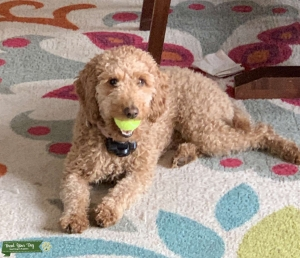 Mini/Medium Apricot Female Goldendoodle looking for a Stud Listing Image