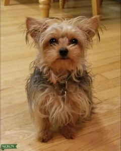 Small Female Yorkie looking for mate  Listing Image