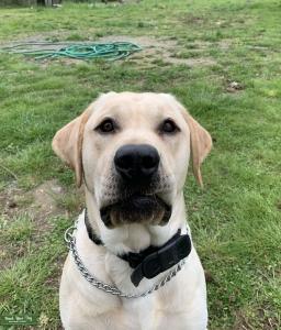 (AKC)Male Pure Bred Yellow Labrador (Stud) Listing Image