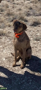 Chesapeake Bay Retriever (Dead Grass) Listing Image