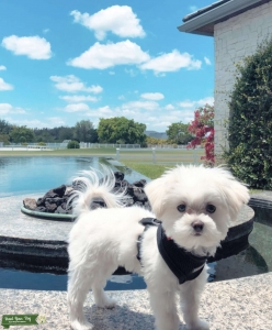 3LB Full Grown White Male Morkie Listing Image Thumbnail