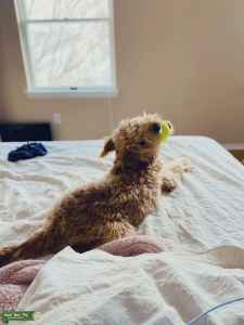 Mini Goldendoodle looking for a mate! Listing Image