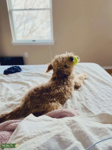 Mini Goldendoodle looking for a mate! Listing Image Thumbnail