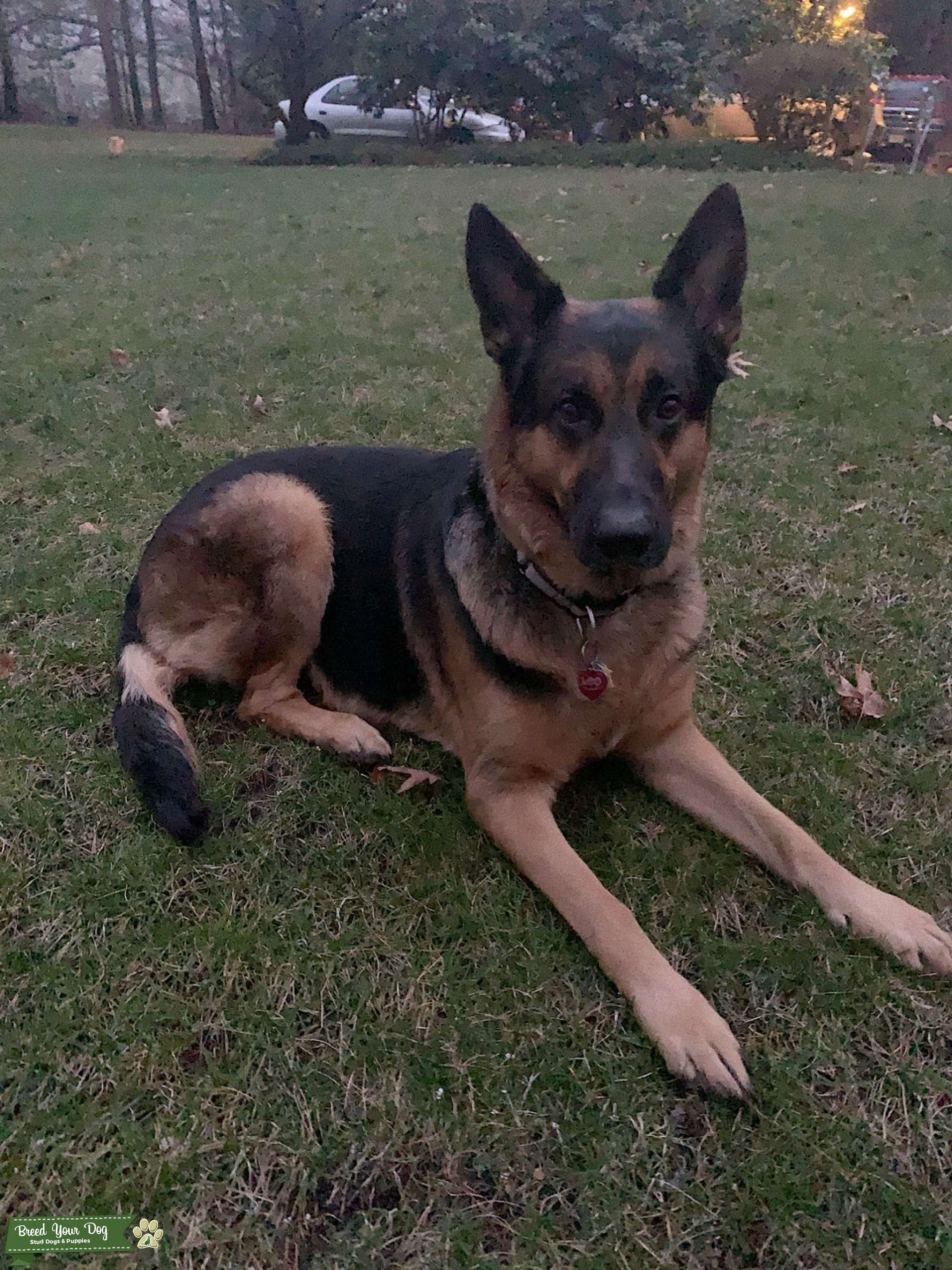 Beautiful 5yr. old 115lb. German Shepherd is ready to become a daddy! Listing Image Big
