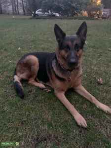 Beautiful 5yr. old 115lb. German Shepherd is ready to become a daddy! Listing Image