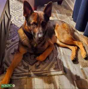 Handsome GSD Male/ Czech working line Listing Image