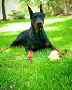 Looking for a Dobe (Bitch) Listing Image