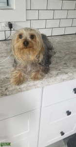 Female Yorkie looking for yorkie Mate Listing Image