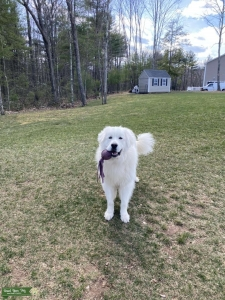 Great Pyrenees Stud Listing Image