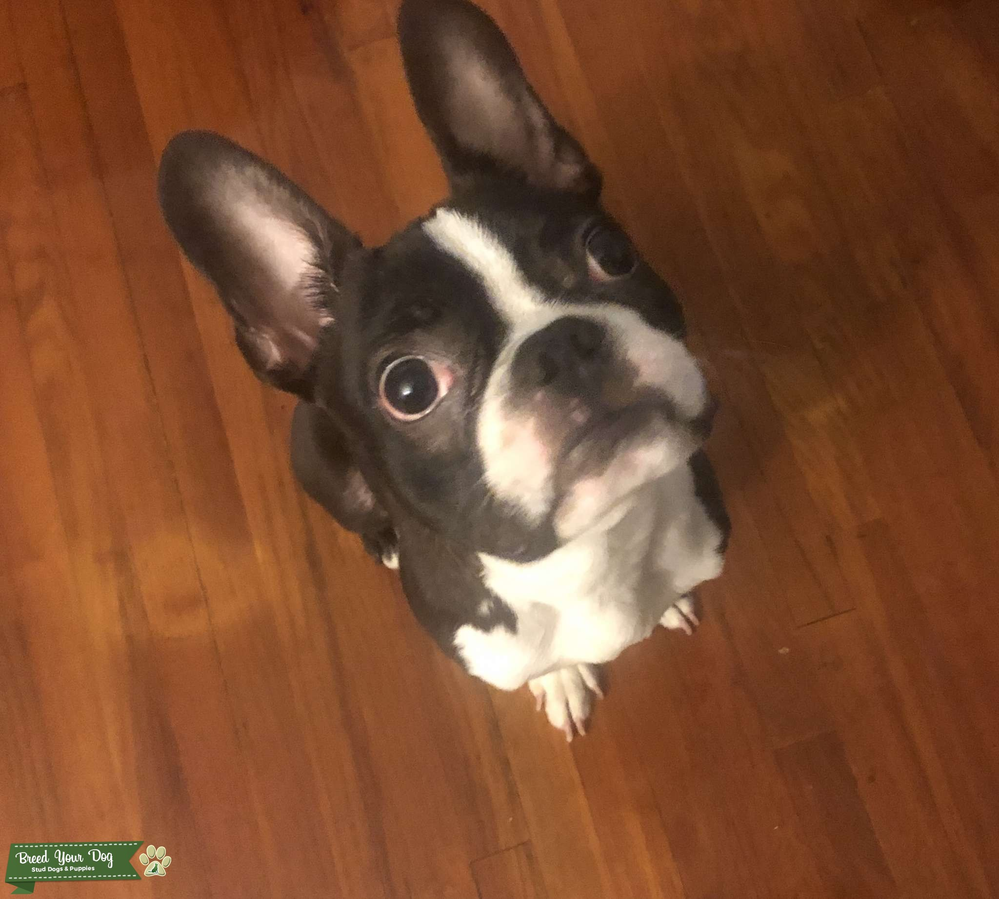 12 month old Boston Terrier Pure breed Listing Image Big