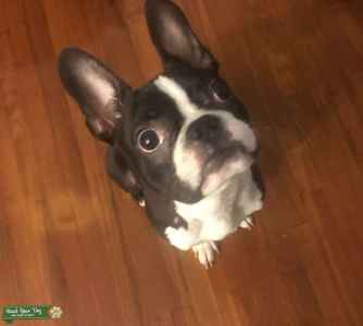 12 month old Boston Terrier Pure breed Listing Image