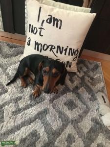 male dachshund seeking female to breed with Listing Image