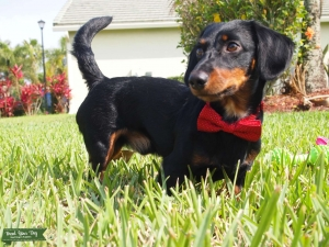 Male mini dachshund, gorgeous mid-length coat and colors Listing Image
