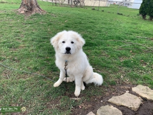 Great Pyrenees Male Listing Image