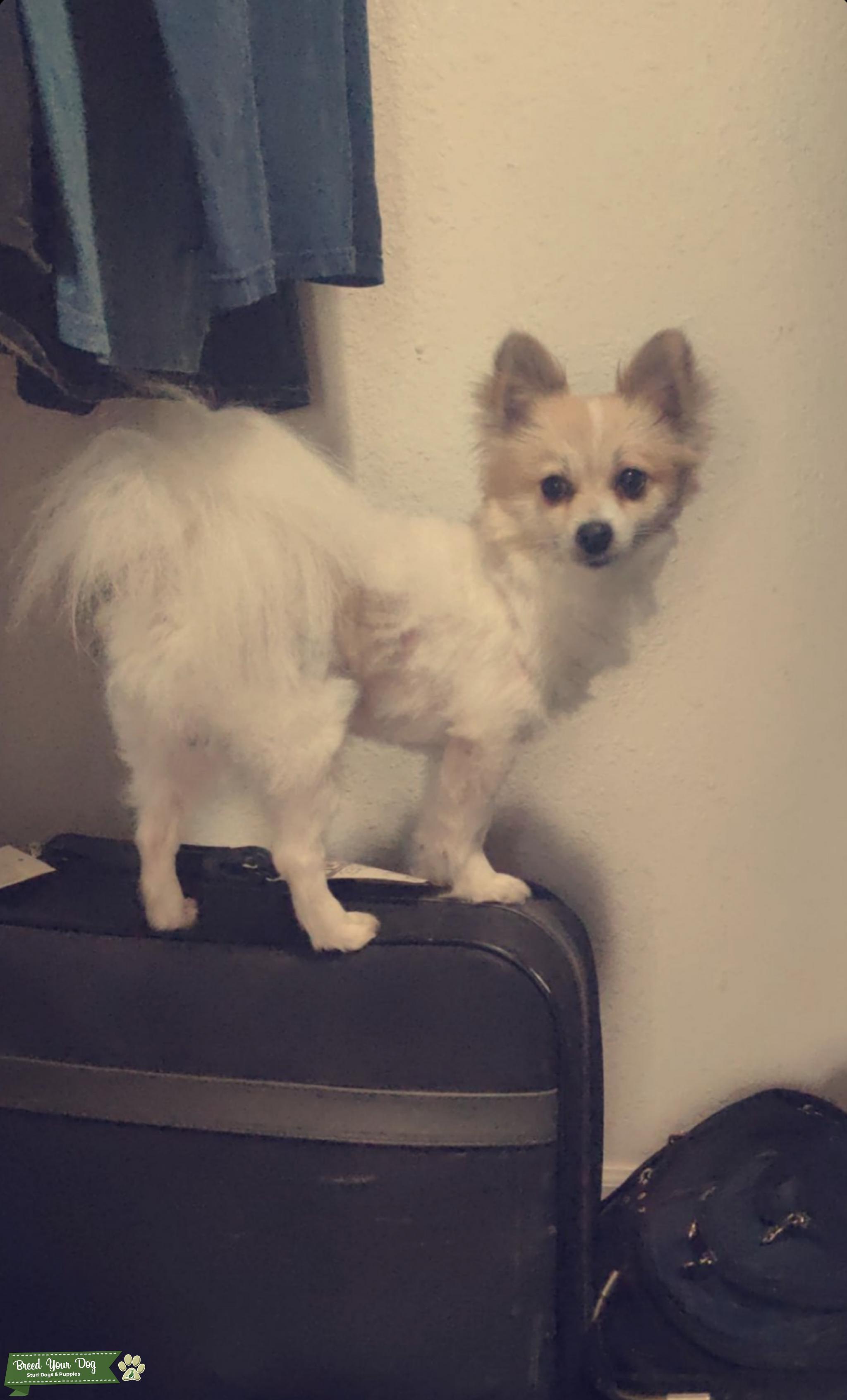 Stud Dog 3 Yr Old Corgi Pomeranian Stud Breed Your Dog