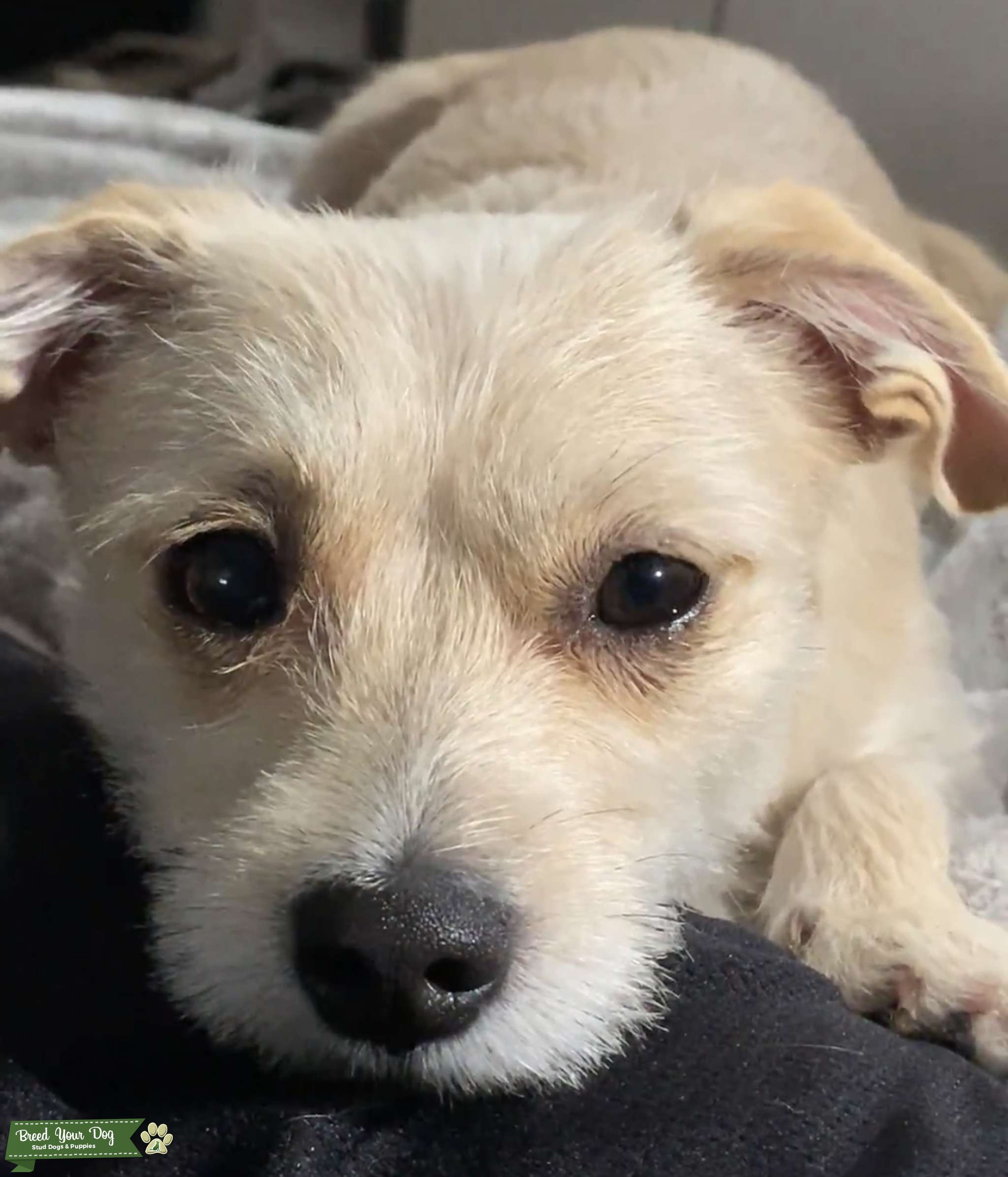 Cairn Terrier Chihuahua Mix  Listing Image Big