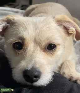 Cairn Terrier Chihuahua Mix  Listing Image