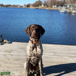 German Shorthair Pointer Male, AKC registered purebred. Listing Image