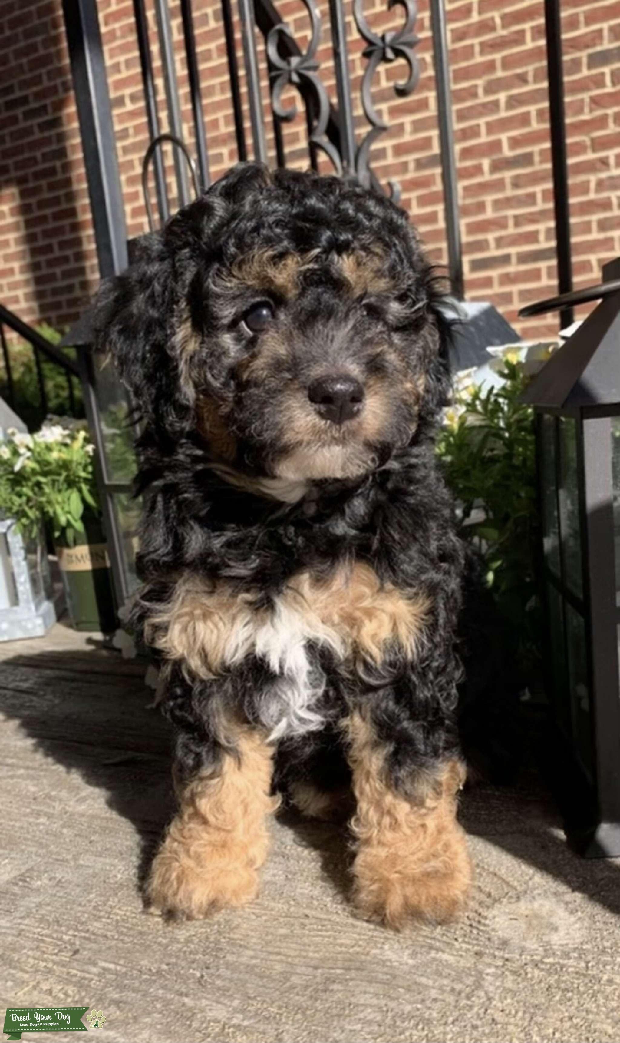 AKC Miniature Phantom Poodle for Stud(PROVEN) Listing Image Big