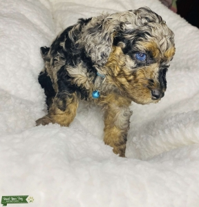 AKC Miniature Phantom Poodle for Stud(PROVEN) Listing Image Thumbnail