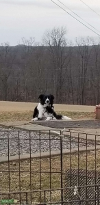 Border collie  Listing Image