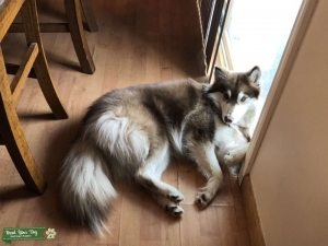 Looking for a Male Stud for my white and brown Pomsky Listing Image