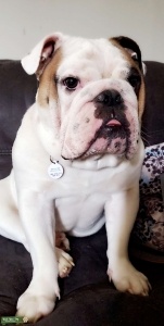 English Bulldog  Listing Image