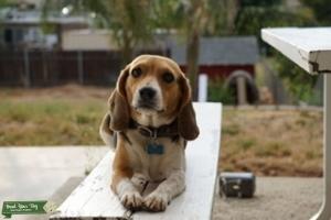 Need a Stud for mini beagle  Listing Image