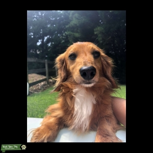 Handsome Long haired miniature dachshund   Listing Image