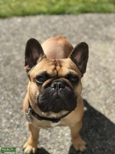 Fawn French Bulldog Stud Listing Image