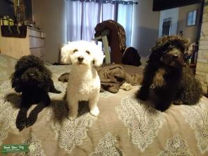 Black Miniature Poodle Listing Image