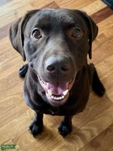 Labrador Retriever  Listing Image