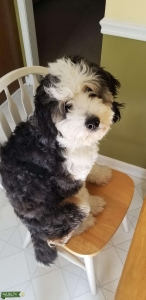 Beautiful tri color Miniature Bernedoodle with playful gentle personality. Listing Image