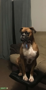 AKC Registered Fawn Boxer Listing Image