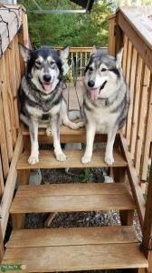 Needing Wolf Stud!!!! Listing Image