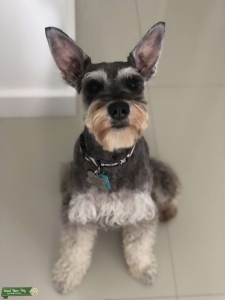 Male mini schnauzer ready to breed Listing Image