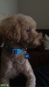 Mini Red Poodle -12 lbs. , Sweet dog and is ESA Certified Listing Image