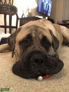 AKC English Mastiff Listing Image