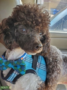 AKC and CKC toy poodle Listing Image