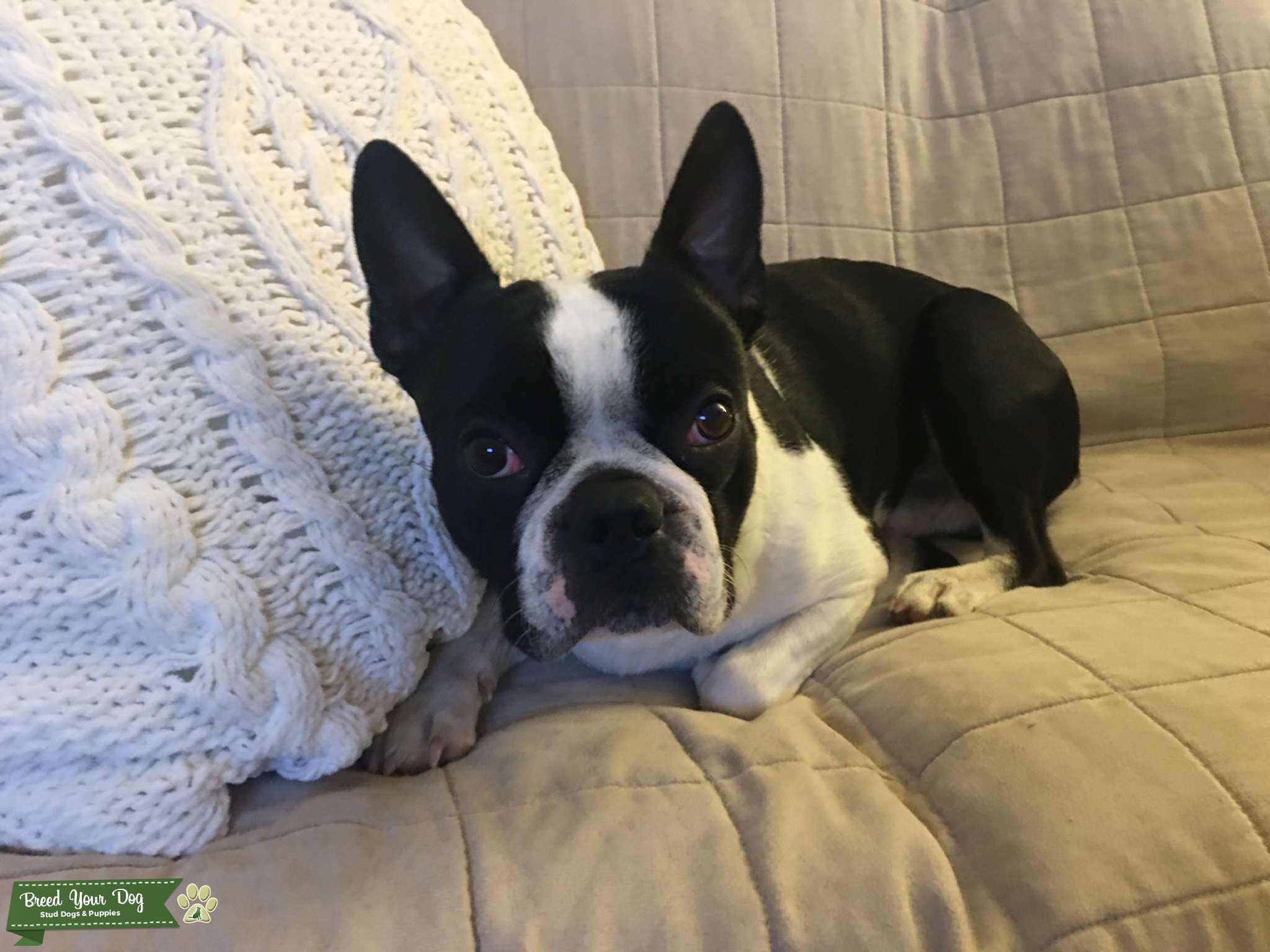 Boston Terrier Stud Listing Image Big