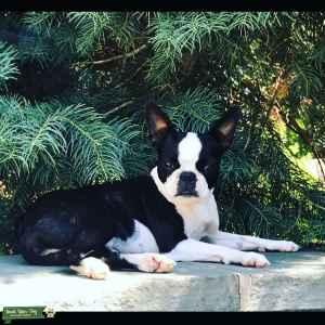 Brindle Boston Terrier Listing Image