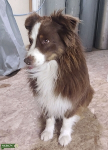 Male mini Aussie: GREAT working farm dog!  Listing Image