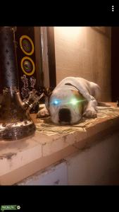 White American bull dog stud Listing Image