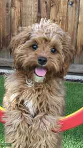 FEMALE CAVAPOO - looking for male!  Listing Image