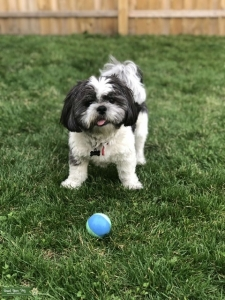 Shih Tzu Looking to Breed Listing Image