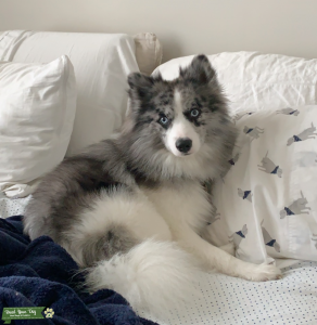 F1 Pomsky Male Located in FL & MA  Listing Image